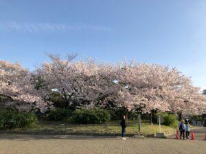 桜も、はやっ!葉桜に!
