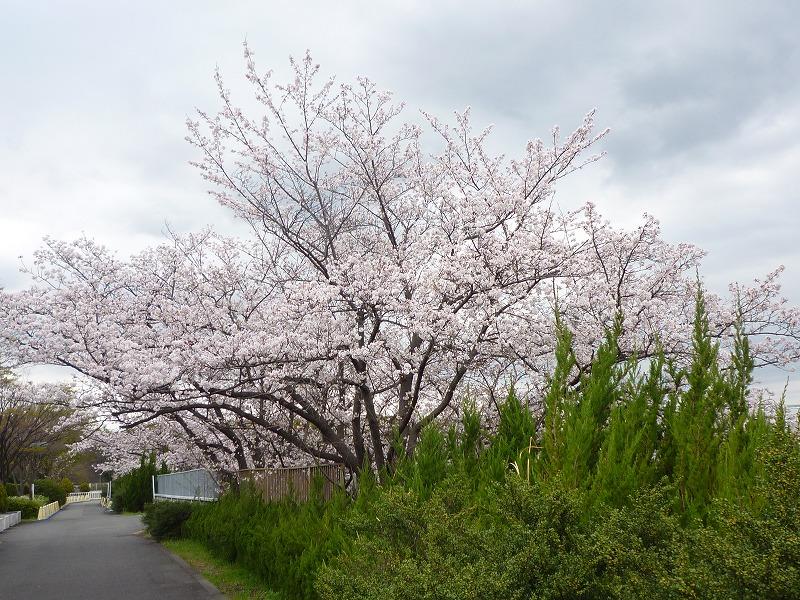 桜見に行ってきました!